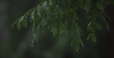 Redwood forest rain dripping down leaves and branch