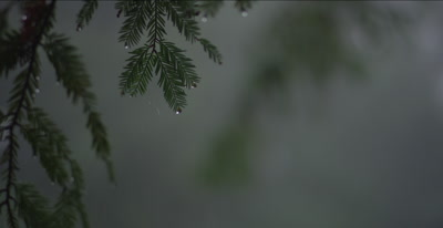 Redwood forest rain falling on branches, slip focus, 48fps