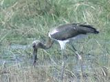 Abdim's Stork, Feeding
