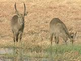 Waterbuck Graze Along Wetland