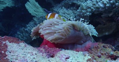 Clownfish Swimming in and out of Sea Anenome