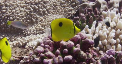 Butterfly Fish swimming through coral reef.