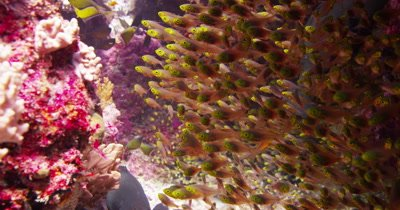 A school of pygmy sweeper fish hiding under coral