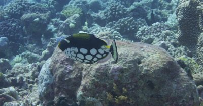 Clown triggerfish swimming away from camera.