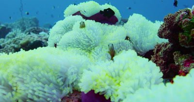 View of clownfish and anemones.