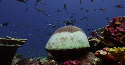 Bleached Brain Coral with school of fish behind