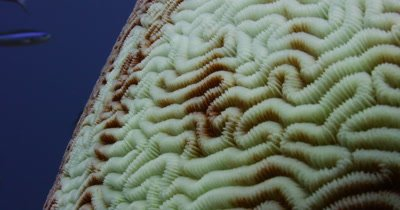 Close up of bleached Brain Coral