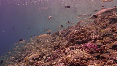 Blacktip Reef shark swimming over healthy reef
