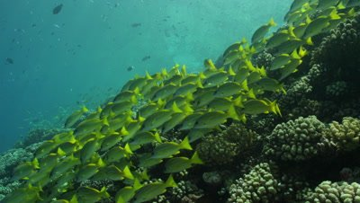 Following a school of yellowtail snapper