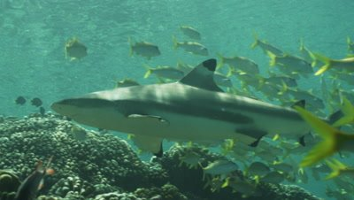 Blacktip Reef Shark swimming through school of Yellowtail Snapper