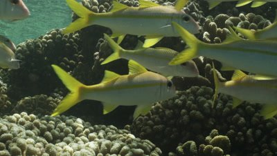 Close up of school of yellowtail Snapper