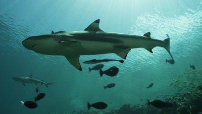Camera following Blacktip Reef Shark swimming through schools of fish