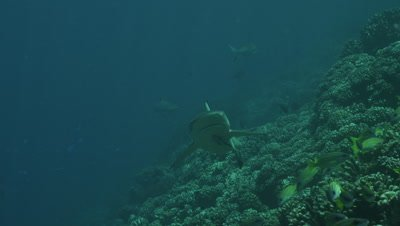 Grey Reef Shark swimming by in a coral cleaning station.