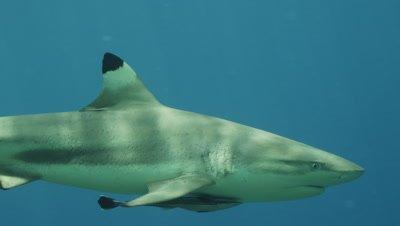 Close up of Blacktip Reef shark's face.