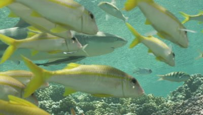 Close up of Blacktip Reef Shark swimming through school of Yellowtail Snapper