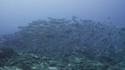 School of Silver fish swimming past camera