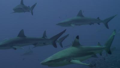 Inside a herd of Grey Reef Sharks and Blacktip Reef Sharks