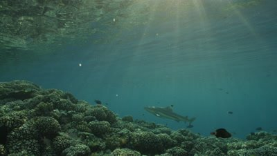 Blacktip Reef shark swimming in shallow water