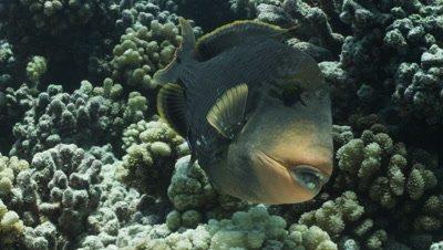 Parrotfish feeding on coral.
