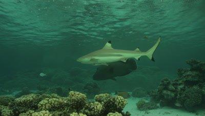 Blacktip Reef Shark swimming through shallows