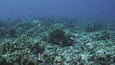 Turtle feeding on reef