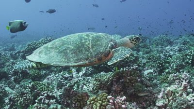Sea Turtle swimming over reef looking for coral to feed on.