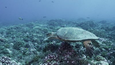 Sea Turtle swimming over reef looking for coral to feed on