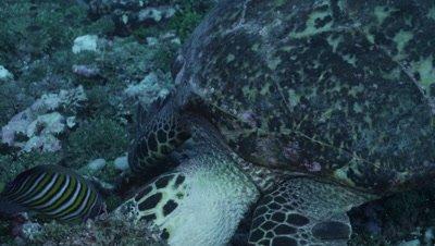 Close up of sea turtle feeding on reef