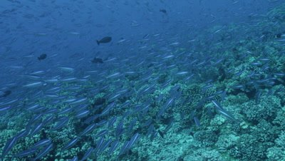 School of Rainbow Runners swimming by