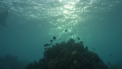 Eagle Ray passing by a busy reef mound.