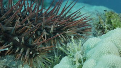 Medium shot of Crown of Thorns Starfish Spines and Tendrils