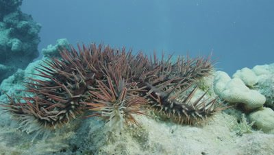 Crown of Thorns Starfish crawling towards camera with Tendrils raised