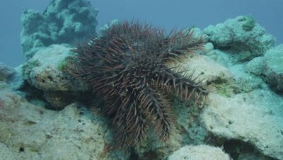 Crown of Thorns Starfish crawling down Coral