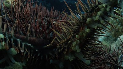 Close up of Crown of Thorns Starfish crawling across camera lens
