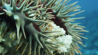 Close up of Crown of Thorns starfish eating Coral