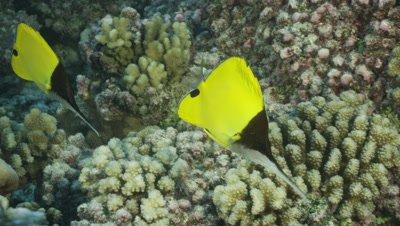 Beautiful yellow butterfly fish swimming through reef