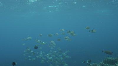 School of Silverfish