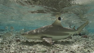 Slow motion of Blacktip Reef Shark in very shallow water