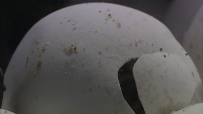 Loggerhead turtle hatching