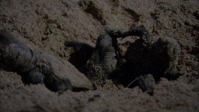 Loggerhead turtles hatching digging up and scrambling away
