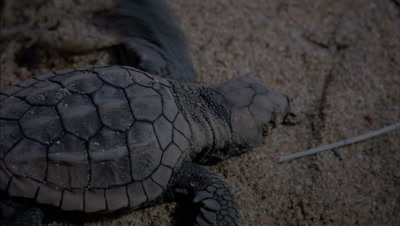 Loggerhead turtle hatching under sand and scrambling up and away