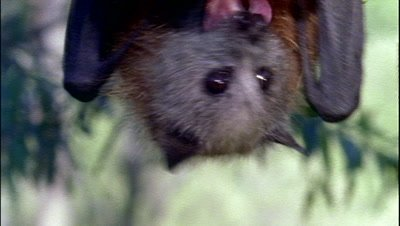Grey-headed flying fox (Pteropus poliocephalus) fruit bat feefing