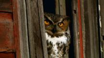 Great Horned Owl Peers From Barn Window
