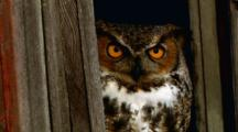 Great Horned Owl Amber Eyes Close And Open