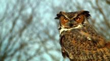 Great Horned Owl Turns Head And Displays Feather Detail