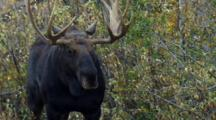 Bull Moose Stands In Bug Infested Brush During Rut