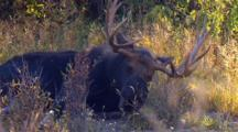 Bull Moose Rests And Moves Head In Bug Infested Brush During Rut