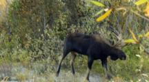 Bull Moose Displays During Rut