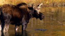 Moose Calf Forages In Pond Creating Water Bubbles