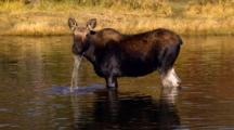 Moose Calf Forages In Pond,Pops Head Up And Looks Toward Camera